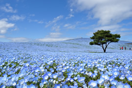 The hill of baby blue-eyes flowers at Hitachi Seaside Park (the best time for viewing is from the end of April to mid-May)