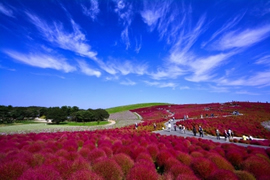 The hill of kochia at Hitachi Seaside Park (the best time for viewing is throughout October)